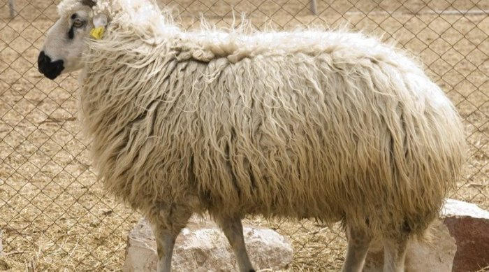 Овца породы Балбас
