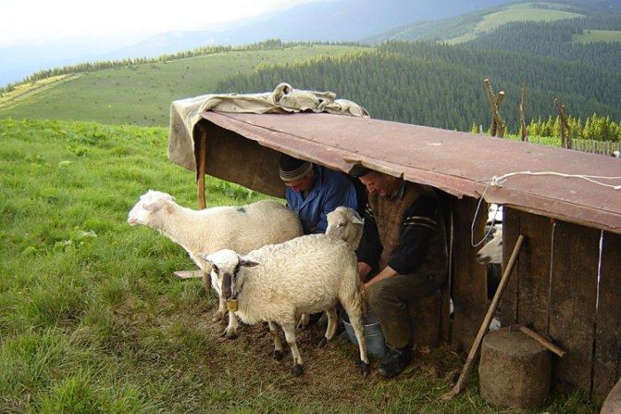 Овчары доят овец