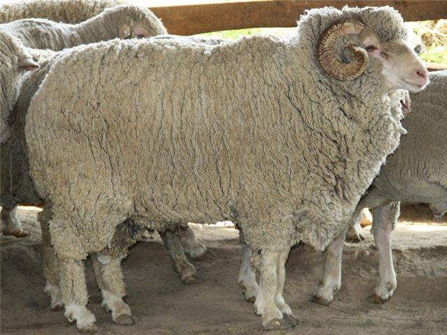 Ставропольская порода тонкорунных овец