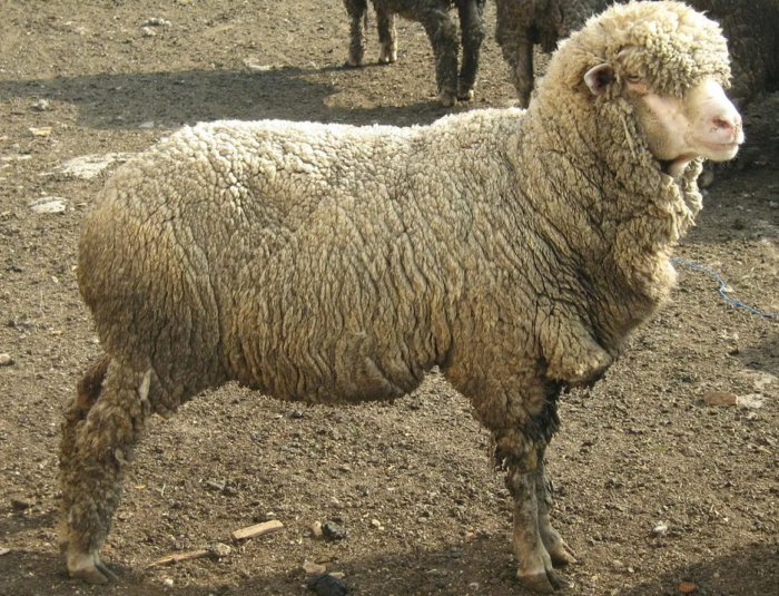 Казахские овцы мясо-шерстного направления