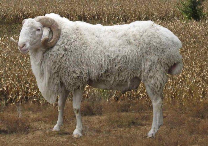Каракульский скот