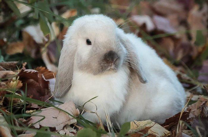 Сиамская порода кролика