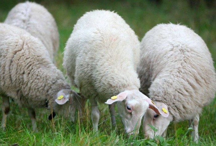Ост-фризские овцы