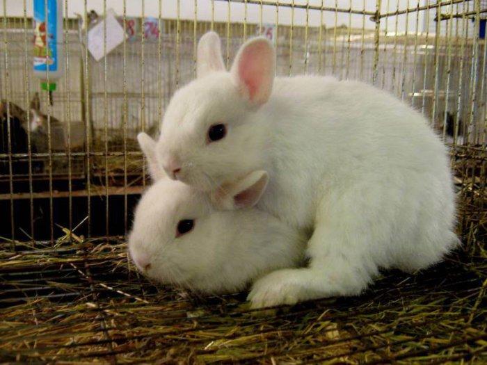 Спаривание кроликов