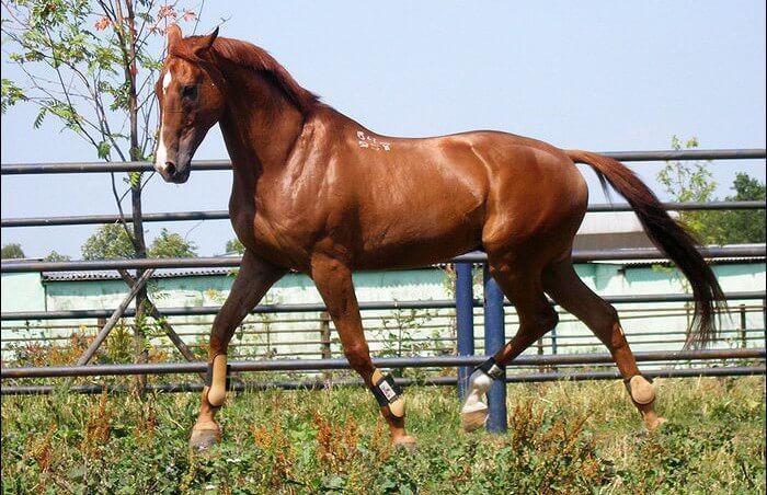 Лошадь русской породы
