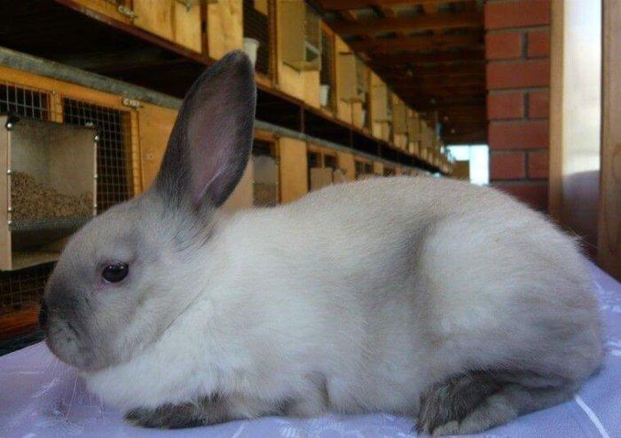 Окрас у сиамских кролей