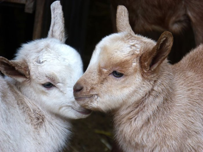 Маленькая овца внешне очень похожа на козлёнка