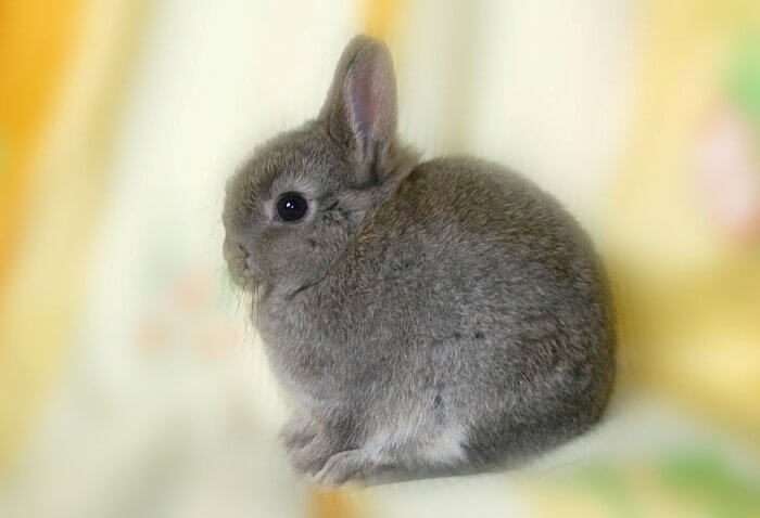 Голландская карликовая порода кролика