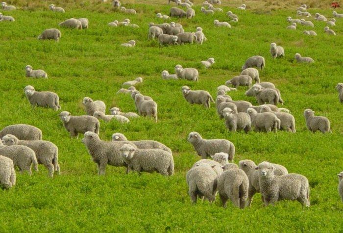 Овцы на выпасе