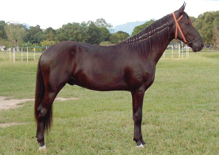 Внешность лошадей породы Камполина