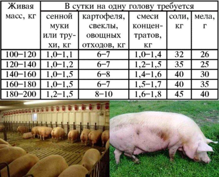 Рацион свиноматок