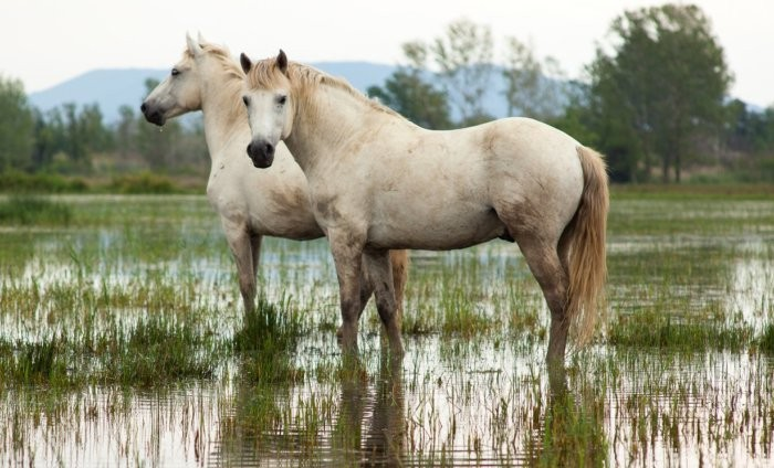 Внешность лошадей камаргу
