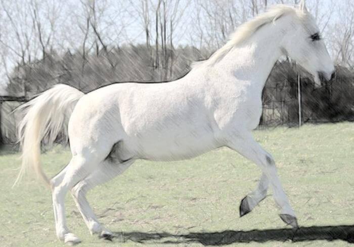 Лошадь породы шагия араб