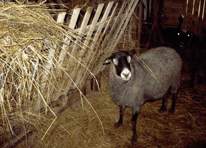 Разведение овец