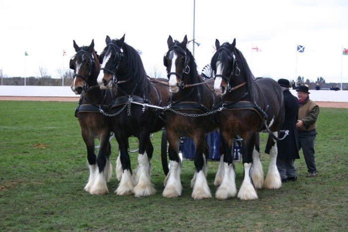 Лошади породы шайр – доброжелательные и спокойные