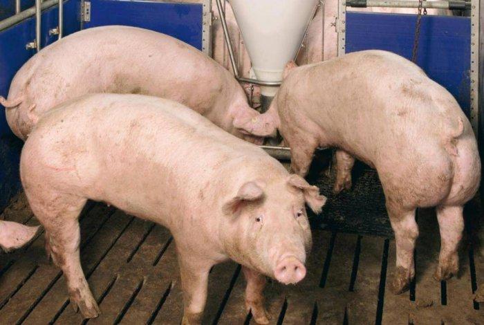 Кормосмеси для супоросных свиней
