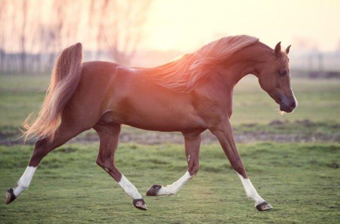 Семейства арабских лошадей