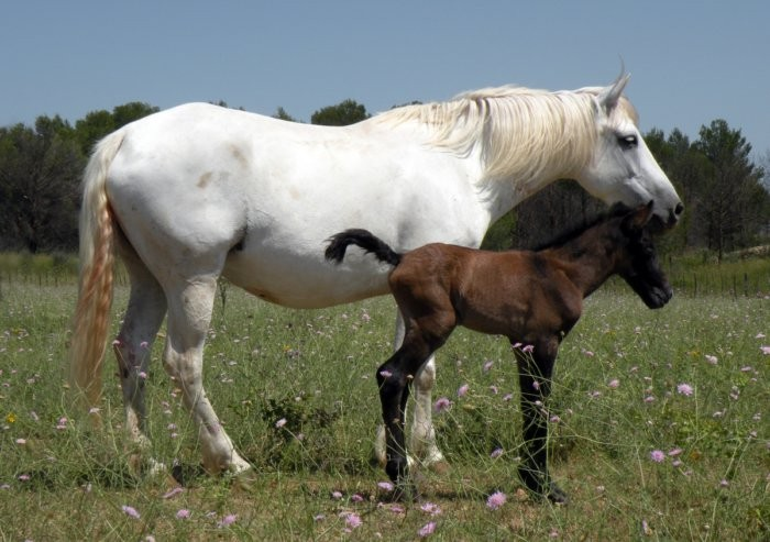 Лошадь камаргу с жеребенком
