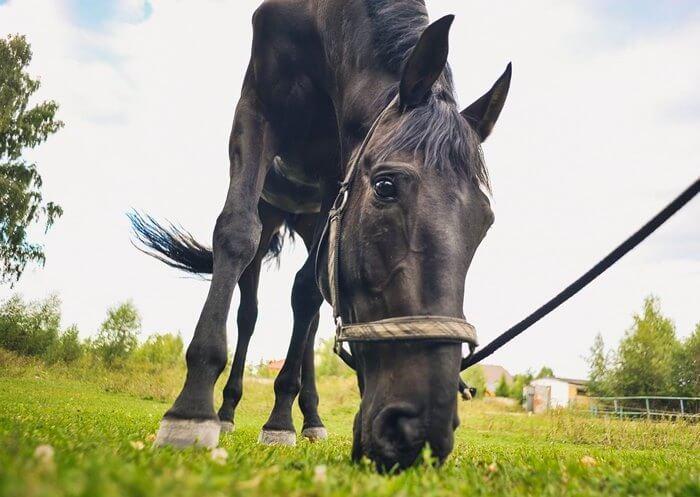 Окрас у кабардинских лошадей