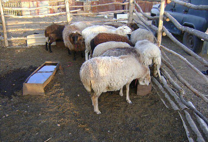 Овцам важно обеспечить доступ к воде