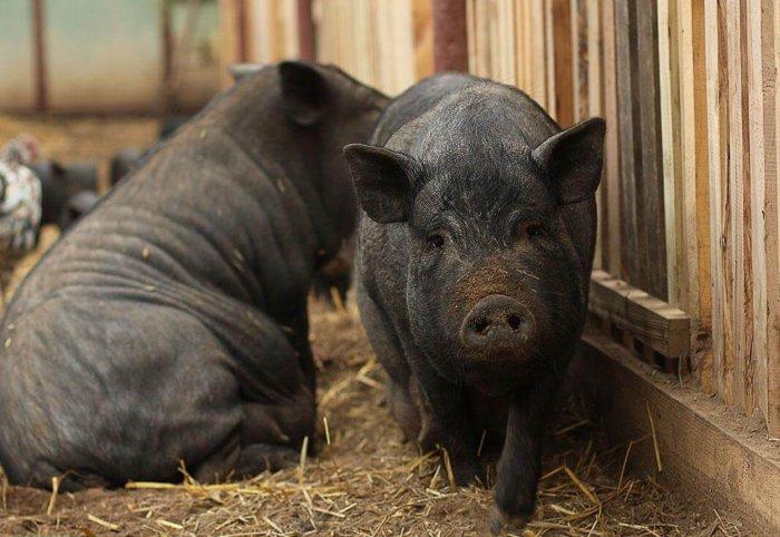 Масса тела вислобрюхой свиньи после 2 лет больше не растет