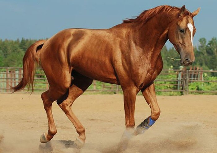 Будённовская скаковая лошадь