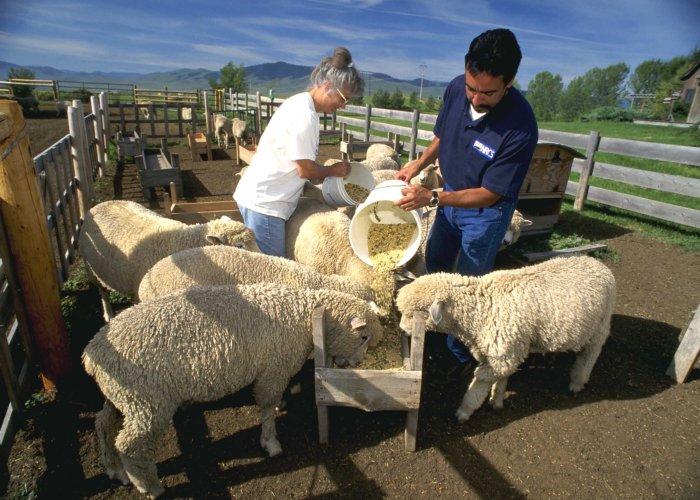 Кормление овец