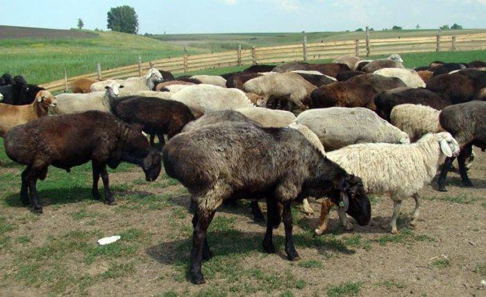 Эдильбаевские овечки