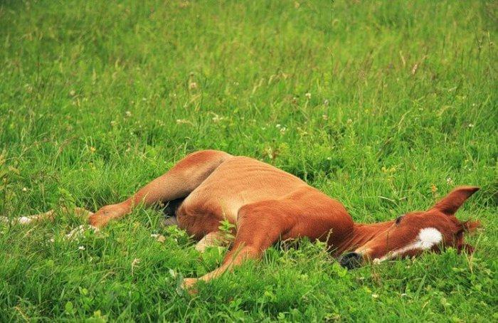 Лошадь спит на боку