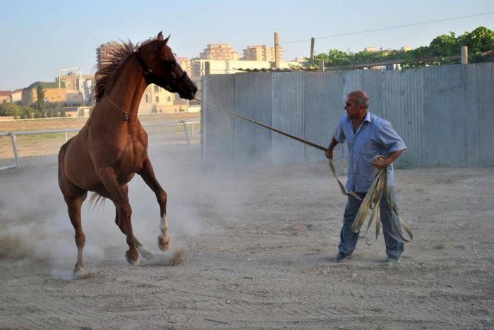 Карабахский конь