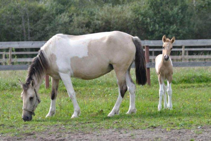 Башкирская лошадь