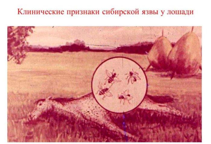 Сибирская язва у лошадей