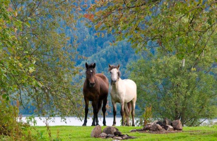 Алтайские лошади