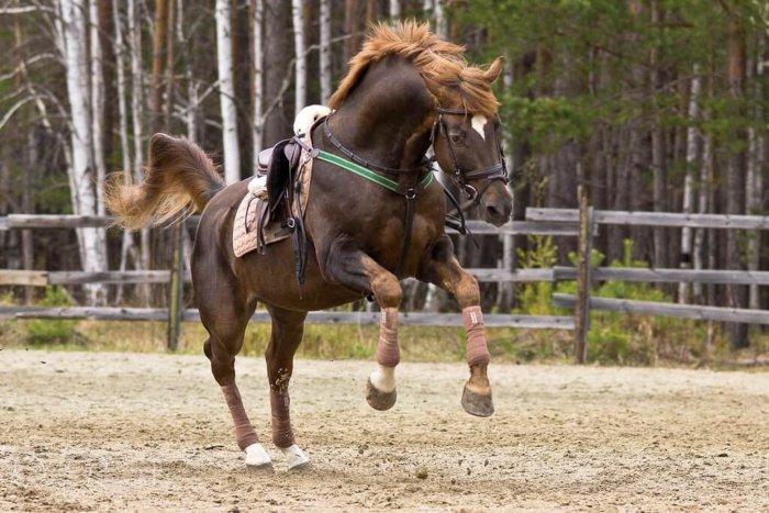 Лошадь с забинтованными ногами