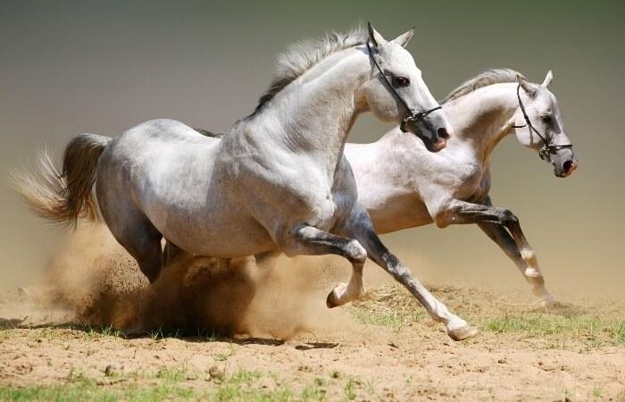 Аллюр лошади