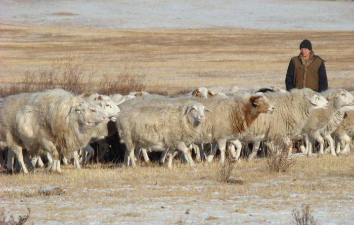 Овцы буубэй на выпасе