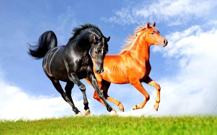 Рыжая и вороная лошади