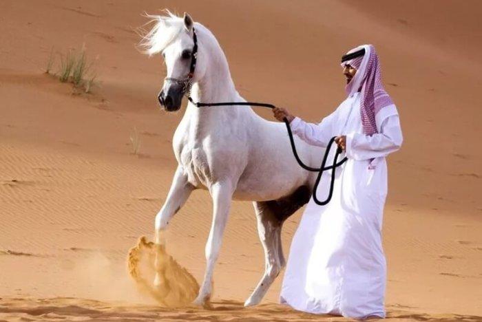 Арабский скакун