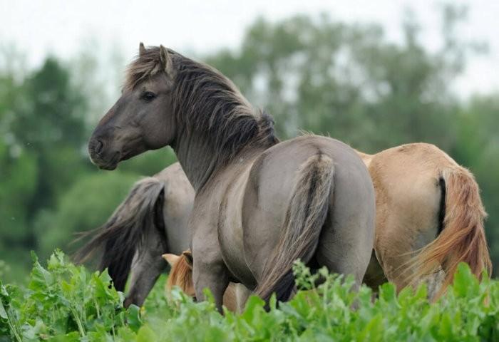 Польские коники