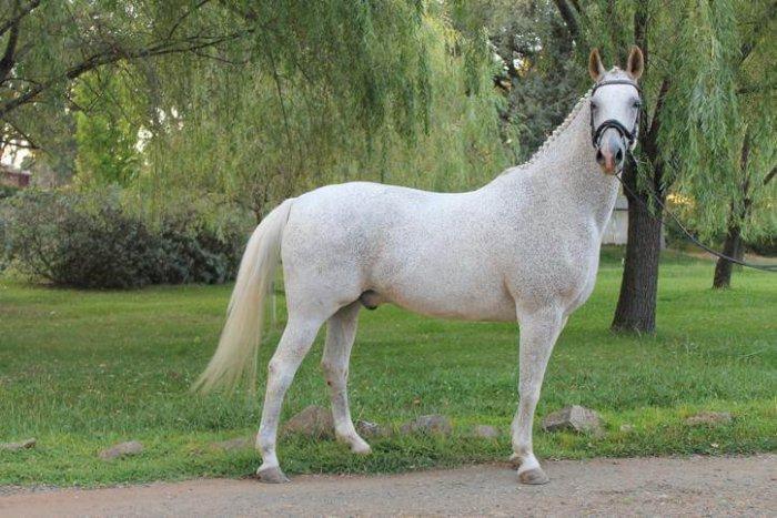 Вестфальская лошадь