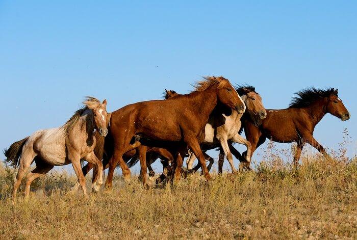Мясная порода лошадей