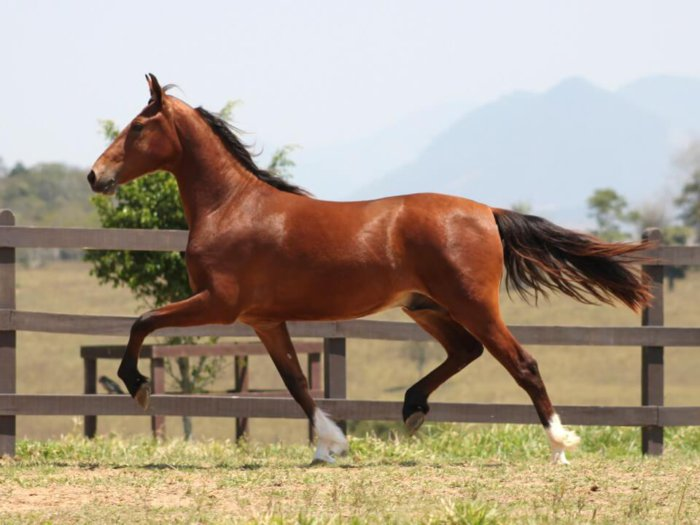 Лошадь Мангаларга маршадор