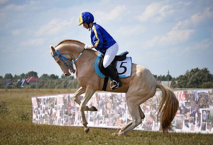 Породу используют в конном спорте