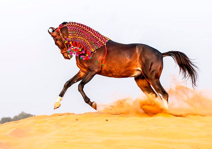 Марварский конь