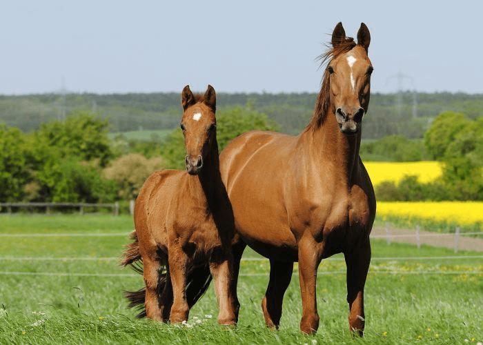 Рыжая ганноверская лошадь