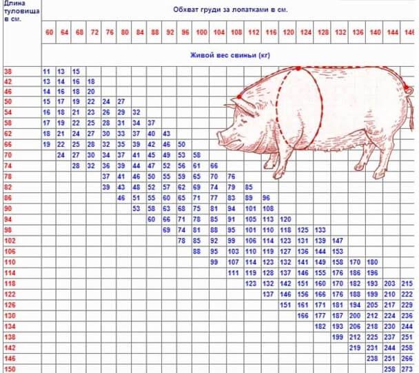 Таблица измерения веса свиней