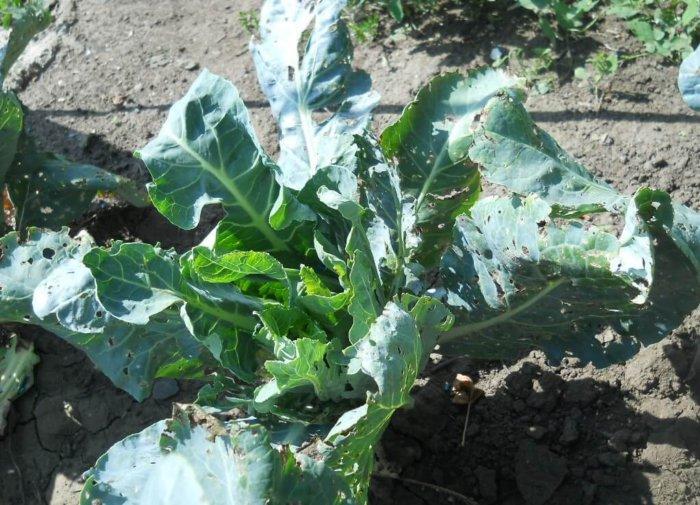 Скручивание листьев у капусты