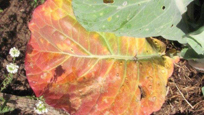 У капусты краснеют листья