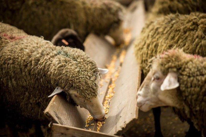 Кормление овец в деревянной кормушке