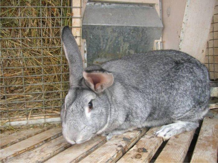 Кролик крупной породы в клетке